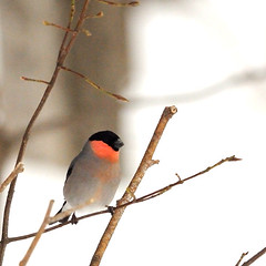 (a tile of #bird & Eurasian_Bullfinch) (yannma) Tags: bird eurasianbullfinch