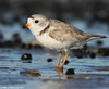 Just a plover (v4vodka) Tags: bird nature animal wildlife birding longisland birdwatching plover pipingplover charadriusmelodus westmeadowbeach pipingploverchick sieweczka siewka