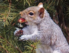 It's Easter Peanut time (MissyPenny) Tags: nature animal squirrel pennsylvania wildlife peanuts buckscounty easterngreysquirrel bristolpennsylvania pdlaich missypenny