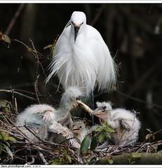 little Egrets' hunger game (*dans) Tags: bird nest wildlife egg taiwan egret ornithology birdwatching littleegret pinglin birdfeeding   wildbird  motherbird      hungergame