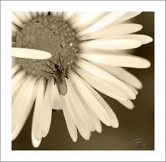 Willy (paquerasmayershots) Tags: flores macro sepia micro bichos macrofotografia