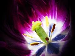 tavaszvr (ffruzsi.) Tags: flower macro fleur garden purple lila tulip tulipn
