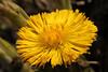 Tussilago farfara 3 (gripspix (OFF)) Tags: plant flower nature natur pflanze blume coltsfoot tussilagofarfara huflattich heilpflanze medicalplant 20130322
