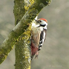 Middle Spotted Woodpecker - Middelste bonte specht (joeke pieters) Tags: bird nature bokeh wildlife ngc vogel middlespottedwoodpecker platinumheartaward middelstebontespecht naturesharmony mygearandme mygearandmepremium mygearandmebronze panasonicdmcfz150 1060006