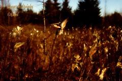 Soeurs Asclpiades (isabel_life_is_short) Tags: autumn nature leaves automne quebec asclpiades isabellecloutier