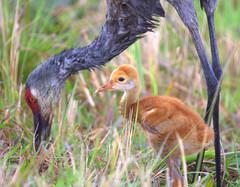 Sandhill Crane w/chick (cavuken) Tags: florida orangecounty orlandowetlandspark sandhillcranewchick