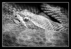 ... watching (nigel_xf) Tags: nikon snake bodensee nigel schlange d300 nikond300 nigelxf vsfototeam