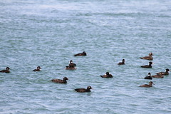 Mixed Surf and White-Winged Scoter (fredhosley) Tags: bird nature canon canal duck spring surf capecod wildlife massachusetts sandwich whitewinged scoter natuer