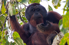 Orangutan - Borneo (Lars Helge) Tags: slr nature animal animals canon eos saba wildlife natur malaysia borneo 7d orangutan l 100400mm kinabatangan dyr orangutang sandakan sukau 100400 canonef100400mmf4556lisusm 2013 kinabatanganriver canonef100400mm dyreliv canonef100400 canonef100400mmf4556lis canoneos7d canon7d llence
