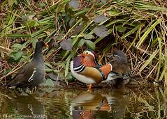 Trouble !! (muppet1970) Tags: water duck suffolk fight mandarin ipswich christchurchpark moorhen