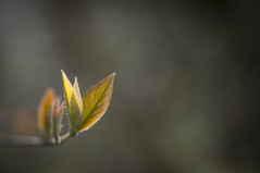 Fresh growth (Keartona) Tags: new sunlight nature leaves spring shoot growth cotoneaster