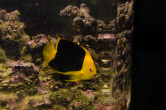 Angel Fish (hsjr_cms) Tags: blue black yellow nc tank angelfish saltwater stokesdale