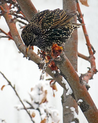 Starling Feeding on Parkland Apples (njchow82) Tags: bird nature backyard wildlife starling winterplumage inspiredbylove animaladdiction thewildlife almostanything worldofanimals parklandappletree beautyunnoticed nancychow canonpowershotsx50hs