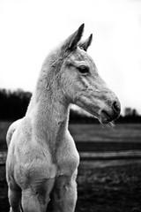 ghost (Jen MacNeill) Tags: blackandwhite bw horse pet baby white black cute animal fur pennsylvania farm young pony lancastercounty rare colt equine filly foal gypsymarestudios jennifermacneilltraylor jmacneilltraylor equinebw