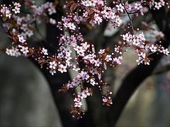 Blossom (Dragan*) Tags: pink flowers plant color garden season spring bloom sakura bud plumtree prunus cvet tamajdan tasmajdan mygearandme mygearandmepremium mygearandmebronze mygearandmesilver mygearandmegold mygearandmeplatinum blinkagain vigilantphotographersunite