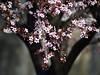 Blossom (Dragan*) Tags: pink flowers plant color garden season spring bloom sakura bud plumtree prunus cvet tašmajdan tasmajdan mygearandme mygearandmepremium mygearandmebronze mygearandmesilver mygearandmegold mygearandmeplatinum blinkagain vigilantphotographersunite