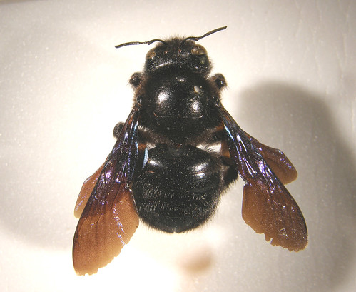 Xylocopa violacea pinned female - Morocco