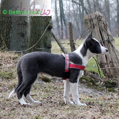 8.4.2013 Alohas Ohren (RockABello) Tags: puppy collie border ohren welpe spitzohren 842013