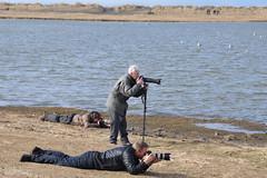 Brandnd - Tadorna Tadorna (Sig Holm) Tags: iceland april paparazzi fugl sland islande aprl tadornatadorna fuglar 2013 bakkatjrn brandnd