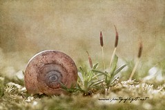 One moment in time (Lightspectral) Tags: texture nature garden spiral moss time snail simplicity moment minimalism frenchkiss babysnail revisit wwwpoetryoflightnet copyright2013 mariaismanahschulzevorberg koenigswintergermany
