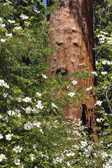 Strength and beauty (Chief Bwana) Tags: ca sierra dogwood sequoia balchpark mountainhomestateforest psa104 chiefbwana