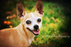 (Krista Cordova Photography) Tags: jerry chihuahua chihuahuamix terriermix terrier smalldog dog cute tanandwhite tan white greengrass grass mutt