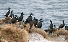 Shag colony