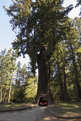 Big Tree Drive-Thru (mbuna) Tags: california usa tree drivethru bit