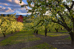 Spring in the Orchard (pdxsafariguy) Tags: mountain flower tree fruit clouds oregon barn spring seasons blossom farming orchard agriculture mounthood hoodriver tomschwabel