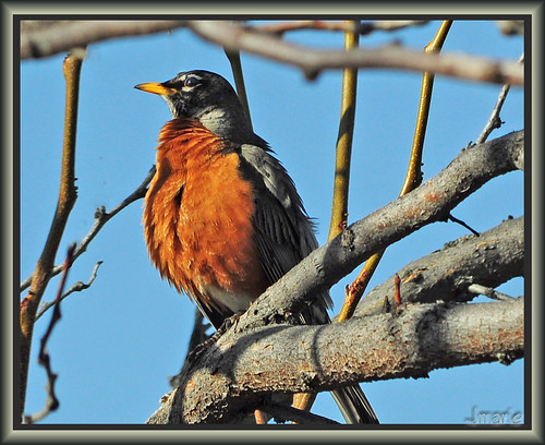 Plump Robin Enjoying Spring
