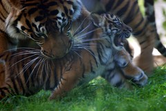 Gotcha! (Daniela's Designs) Tags: california usa cats brown white black green beautiful grass animals tongue mouth print mom photography cub play sale stripes tiger whiskers card licked jaws bite etsy paws growl playful claws sumatran sanfranciscozoo carrying danielasdesigns