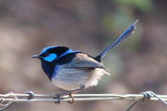 P8040659 - Superb Fairywren (Explored! #202 25 Apr 13) (Derek Midgley's Photostream) Tags: cute bird superb australia melbourne fairywren bluewren maluruscyaneus malurus cyaneus gleniriswetlands
