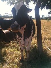 Qual (CartasAoVento) Tags: analog animal cow farm fun vaca vacancy vsco brazil brasil