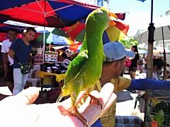 philippine hanging parrot (explore) (DOLCEVITALUX) Tags: greenparakeet parakeet philippines bird animal canonpowershotsx50hs fleamarket outdoor people kulasisi philippinehangingparrot