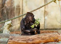 Hugs from mum (VirtualWolf) Tags: animal australia canonef135mmf2lusm canoneos7d equipment gorilla mosman newsouthwales places primate sydney tarongazoo wildlife