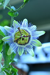 Passion Flower (alias Mother Ship, because they look like little space ship's.) (Reed 1949) Tags: flower garden passionflower passiflora blossom vine nikon nikond5200 tamron18270mm