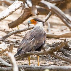 crested caracara (caropho) Tags: bonaire antilles caracara birds nature wildlife outdoor canon