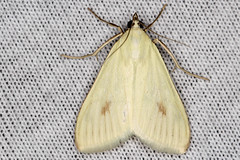 Sitochroa palealis - Carrot Seed Moth - Hodges#4986.1 - (Greenish-Yellow Sitochroa Moth) (SouthJerseyDevil) Tags: nature insects moths mothing mothnight new jersey mothsinsect macrocanon 100mm lnational moth week 2016