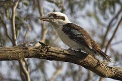 Laughing Kookaburra 2016-07-13 (60D_2153) (ajhaysom) Tags: laughingkookaburra dacelonovaeguineae woodlandshistoricpark greenvale melbourne australia australianbirds canoneos60d sigma150600