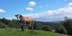 I'm watching you behind the screen (Paul Thackray) Tags: yorkshire northyorkshiremoorsnationalpark northyorkshiremoors northyorkshire appletonlemoors footpath cows 2016