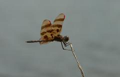 Celithemis eponina (Robert Sinclair) Tags: mature male oceancounty newjersey celithemiseponina halloweenpennant