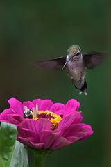 Zeroing in... (dbifulco) Tags: rthu birds feeding flowers garden juvenile nature newjersey nikkor300f4pfed pink rubythroatedhummingbird wildlife yard zinnia