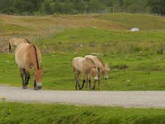 Wild Horses, Highland Wildlife Park, Kincraig, July 2016 (allanmaciver) Tags: wild horses small large animal highland wildlife park kincraig drive circut allanmaciver