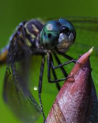 DragonFly_SAF9597-2 (sara97) Tags: copyright2016saraannefinke dragonfly flyinginsect insect missouri mosquitohawk nature odonata outdoors photobysaraannefinke predator saintlouis towergrovepark urbanpark