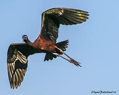 IbisFlgt6-30-aa (lfalterbauer) Tags: glossyibis oceancity newjersey canon7dmarkii flight ocean bay nature wildlife photographer
