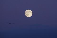 Volando hacia la Luna llena (Contando Estrelas) Tags: plenilunio lunallena fullmoon gaviota gull seagull bayona baiona pontevedra rasbajas rasbaixas galicia espaa spain noche night noite