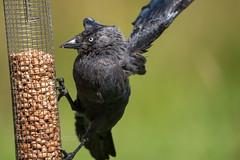 Jackdaw (kfjmiller) Tags: 150600mm august birds corvid crow hide lochwinnoch nikond610 rspb tamron jackdaw
