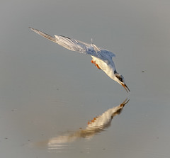 Fosters Tern Fishing (tresed47) Tags: 2016 201608aug 20160819bombayhookbirds birds bombayhook canon7d content delaware folder forsterstern peterscamera petersphotos places takenby tern us ngc npc