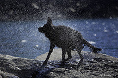 Shake! (Blazingstar) Tags: larkin water montana wet dog flatcoated retriever studio 26