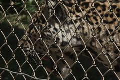 077_Great Cats Park_Jaguar (steveAK) Tags: greatcatsworldpark jaguar